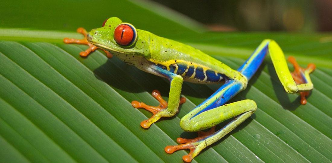 Travel-2020-central-america-costa-rice-pure-vida-frog