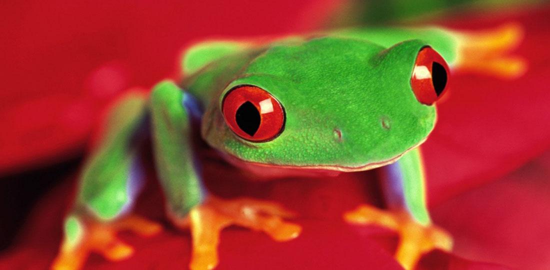Travel-2020-central-america-costa-rice-pure-vida-tree-frog