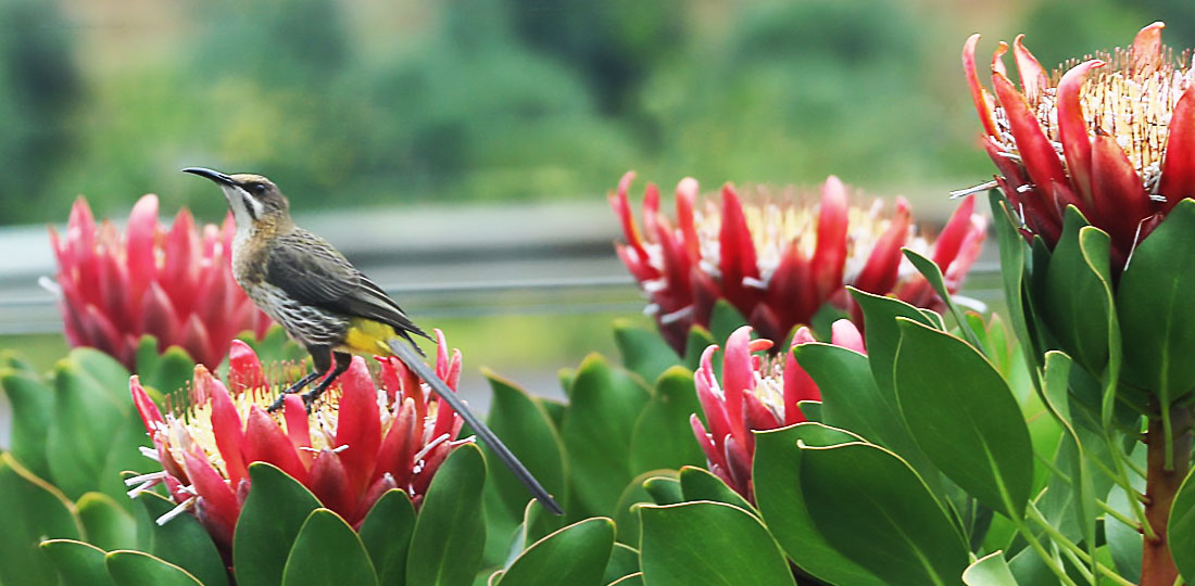 Travel-2020-africa-south-africa-bird-flower