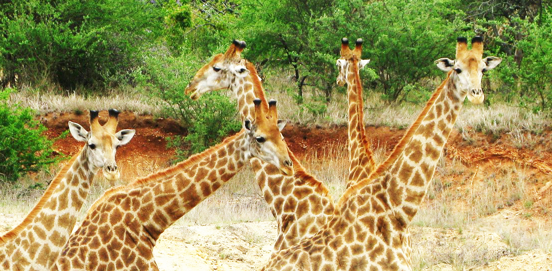 Travel-2020-africa-south-africa-giraffe