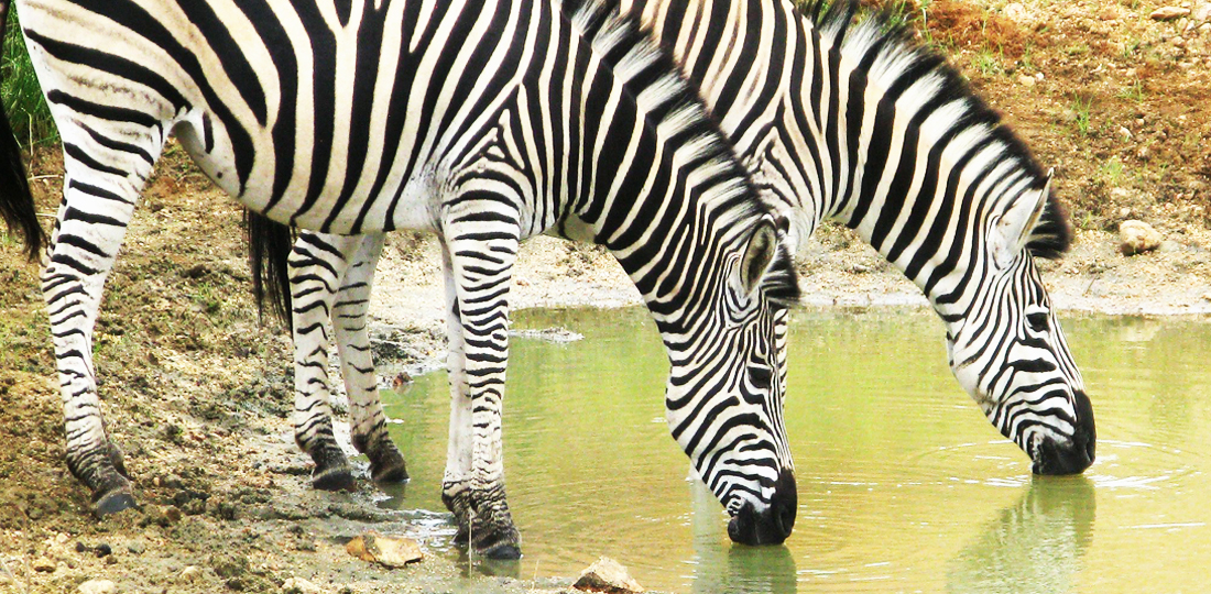 Travel-2020-africa-south-africa-zebras-lk