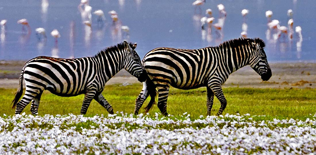 Travel-2020-africa-kenya-tanzania-safari-GALLERY-norongoro-crater-zebra